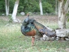 Ocellated_Turkey2