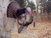 Johnston_MIssouri_Gobbler_Right_Side