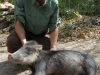 My_first_White-lipped_Peccary_taken_with_shotgun.